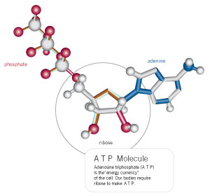 d-ribose atpmolecule