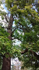 tree with pods